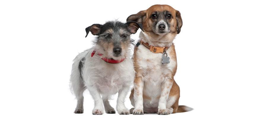 canine collars