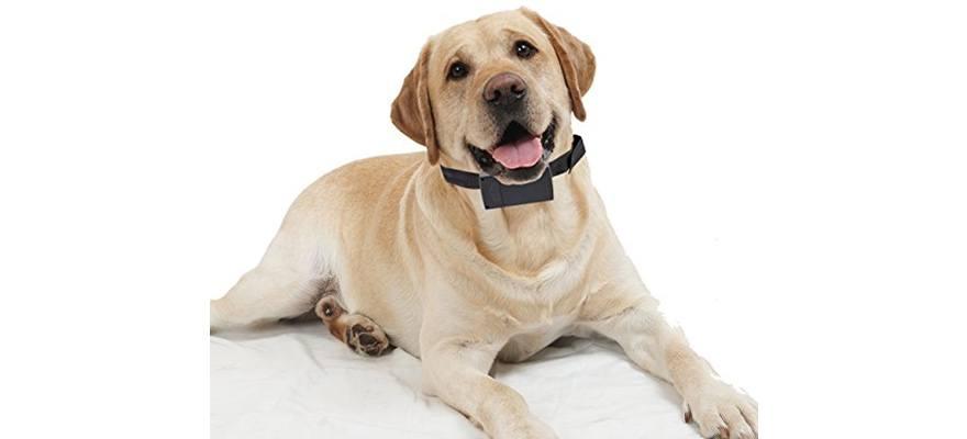 Shock Collar Whining Dog