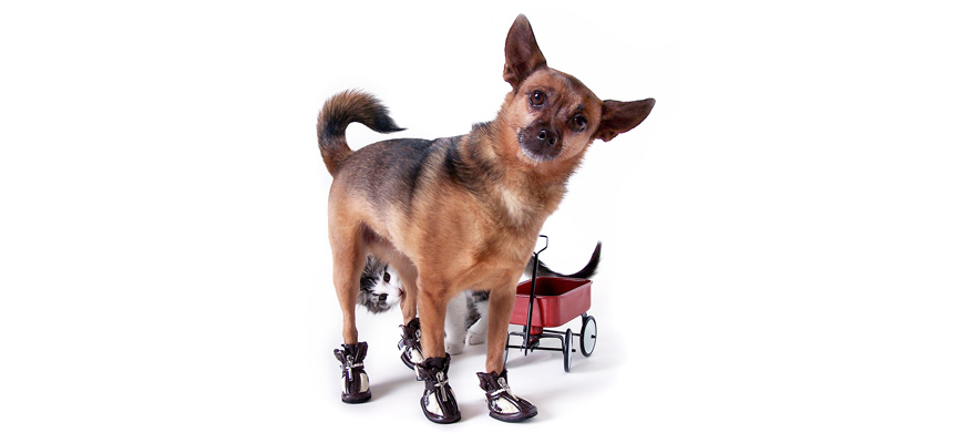 tips to get your dog to wear shoes