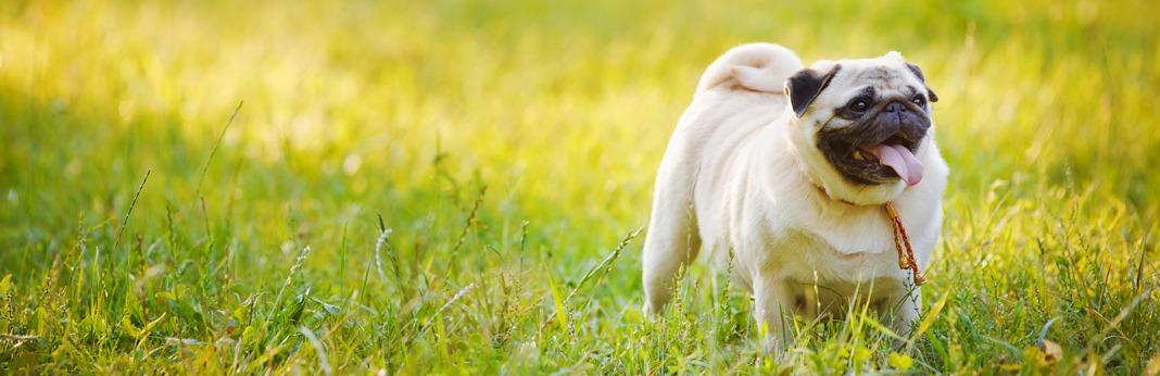 best companion dogs