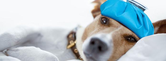 dog flu tips