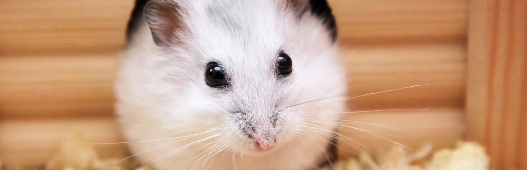 how-much-do-hamsters-cost