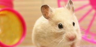 how to clean a hamster cage