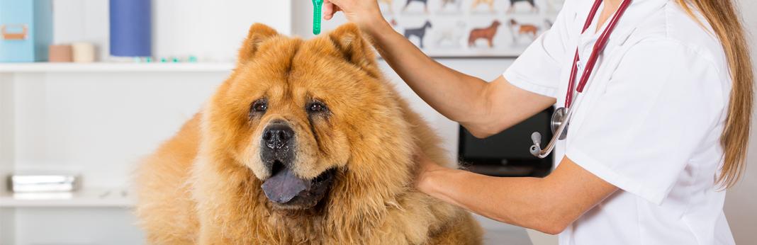 get-rid-of-dog-fleas