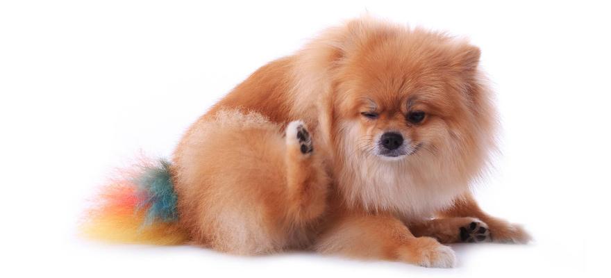 get rid of dog fleas
