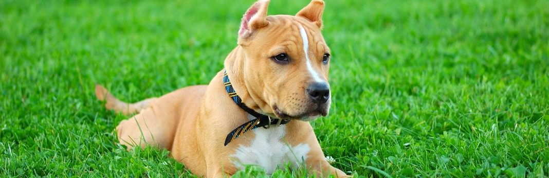 best dog foods for pitbulls