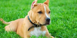 best dog foods for pitbulls