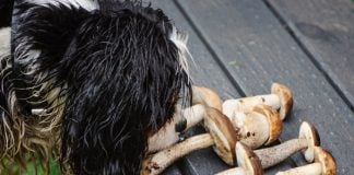 can dogs eat mushrooms