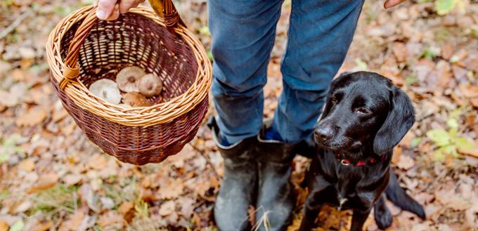 dog with basket full of mushrooms