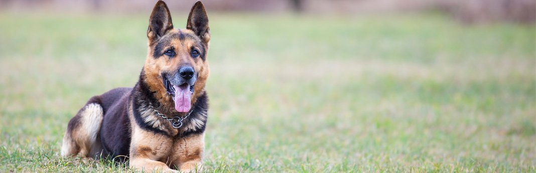 most loyal dog breeds