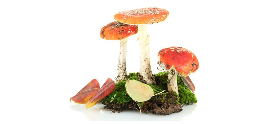 the danger of mushroom poisoning