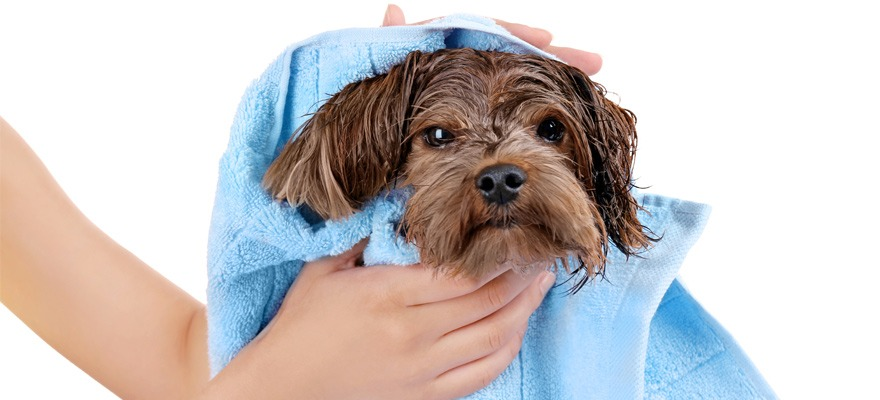towel drying dog hair
