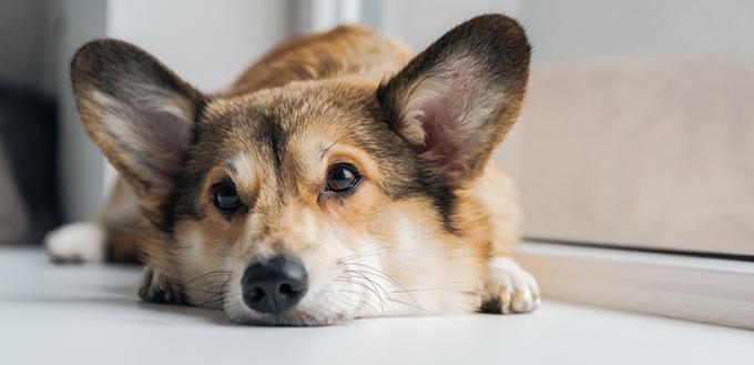 Cute corgi dog lying