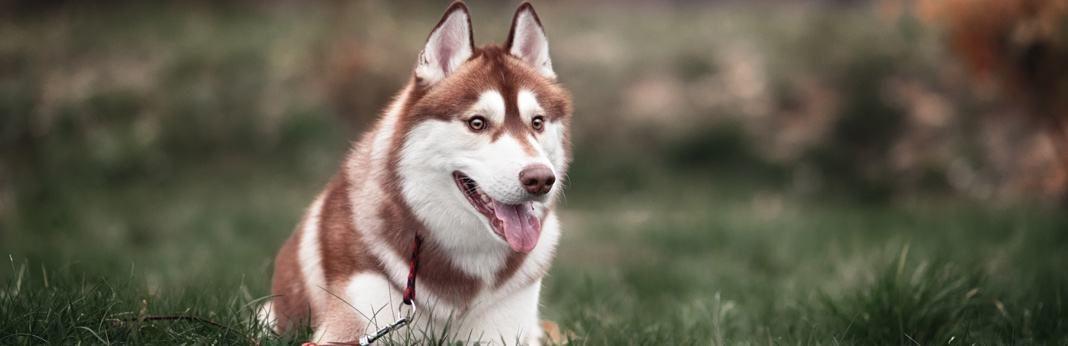 best dog food for huskies