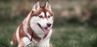 best-dog-foods-for-huskies