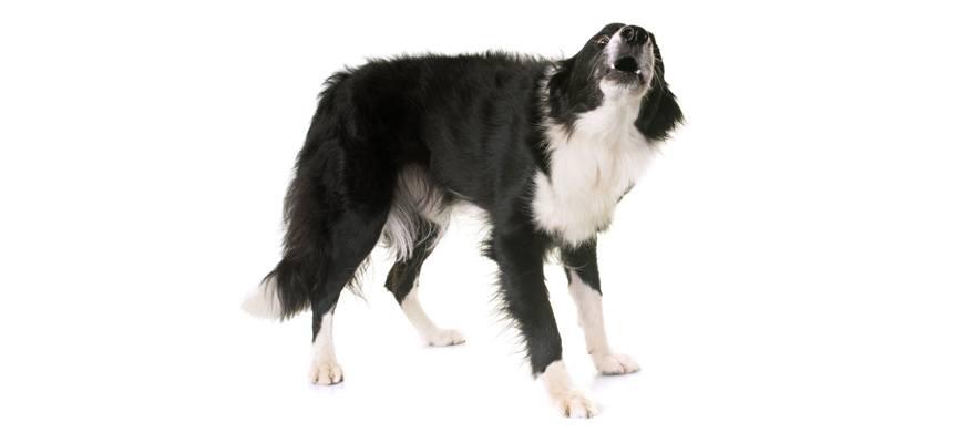 training tips using canine whistle