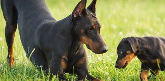 best guard dog