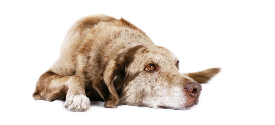 canine cushing disease
