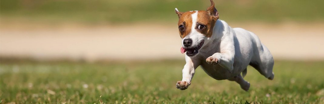 Best Way To Determine Shock In Dogs