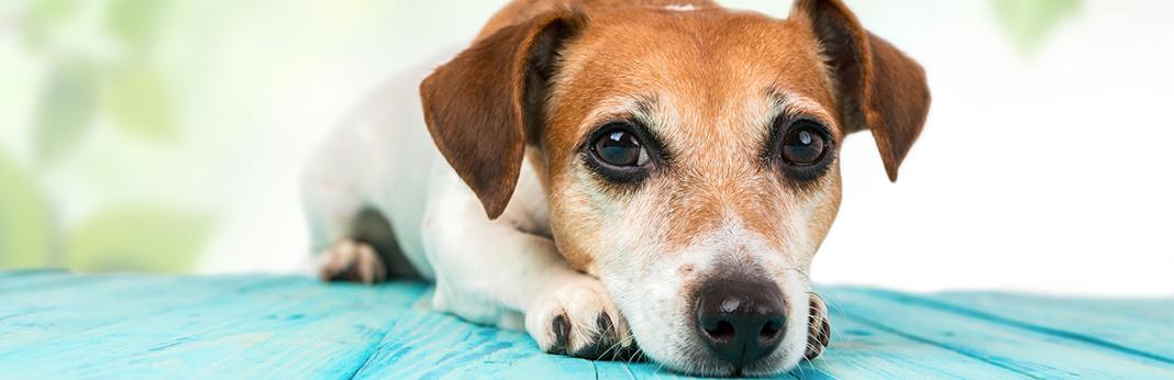 cushings-disease-in-dogs