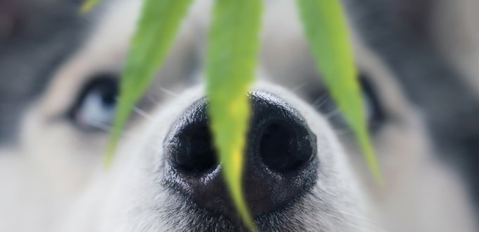 dog smelling weed