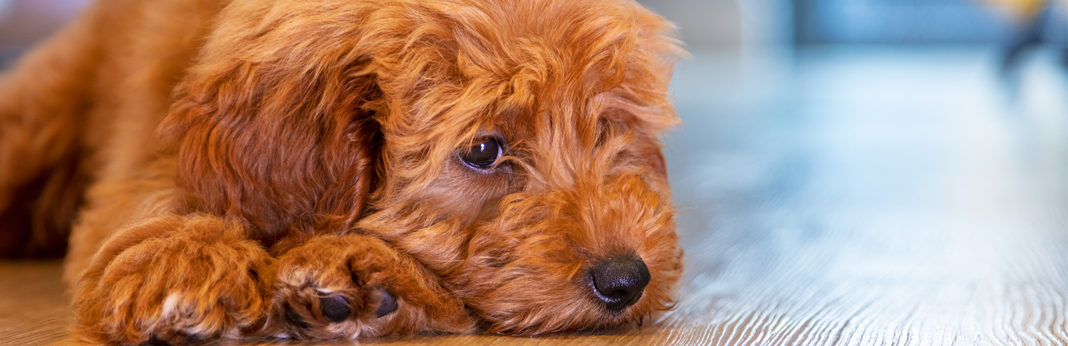 how to cure dogs upset stomach