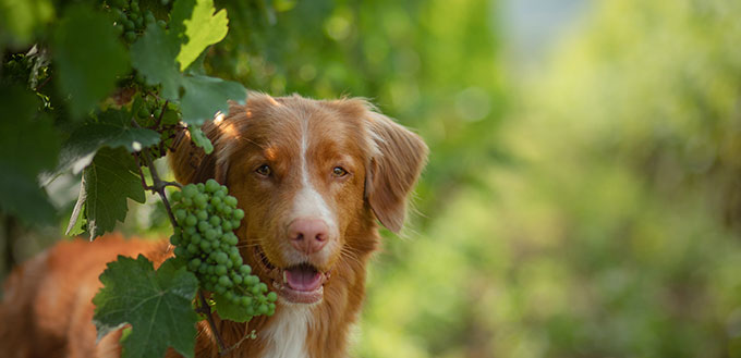 dog in grape trees