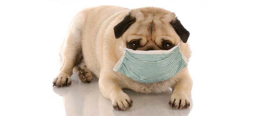 dog influenza