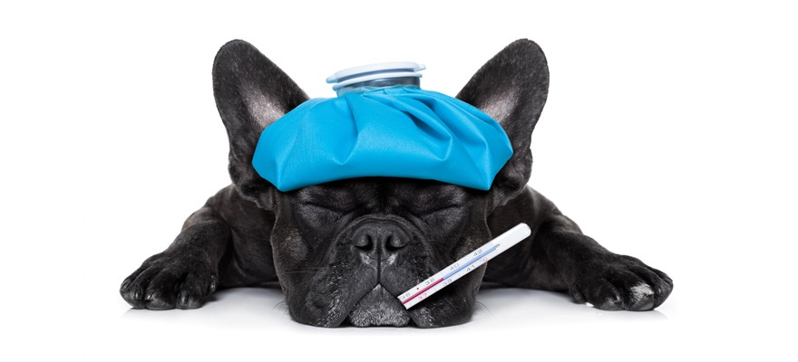 What To Do For Dogs If They Get Colds
