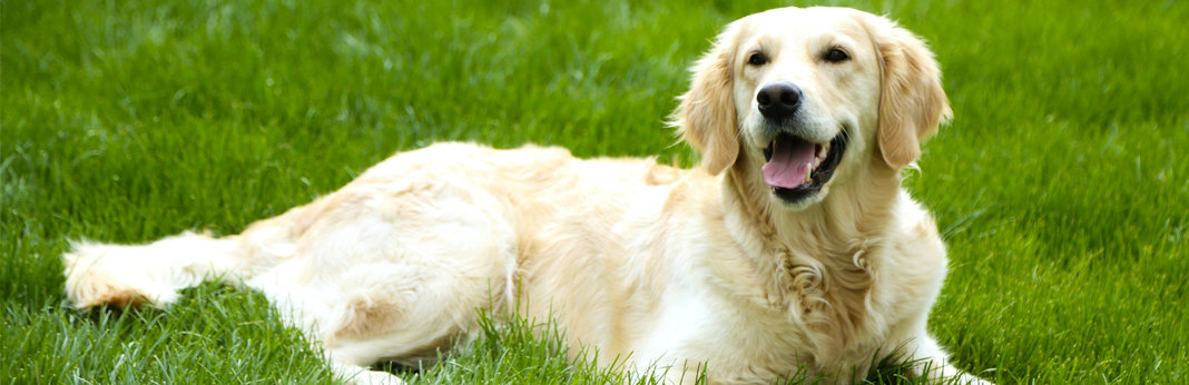 how to safely remove a tick from a dog