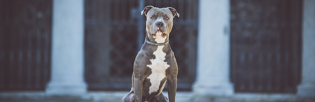 15-Dog-Breeds-with-the-Strongest-Bite