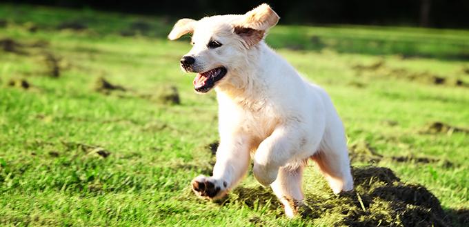 草むらに飛び込むゴールデン・レトリーバーの子犬