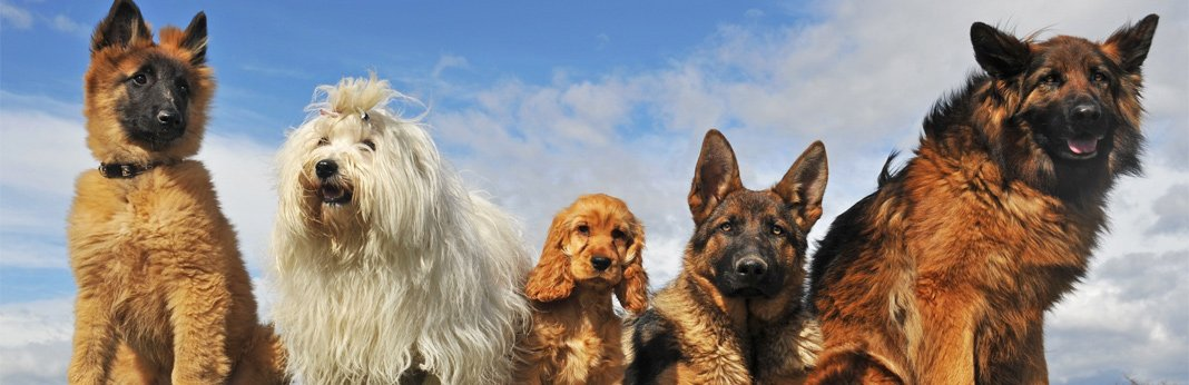 best-dog-breeds-for-apartments
