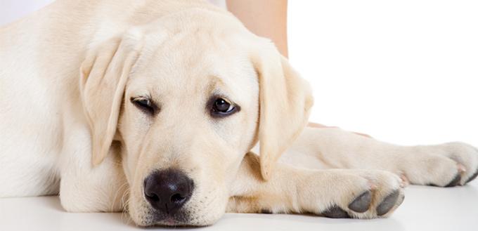 Can I Give My Dog Piriton