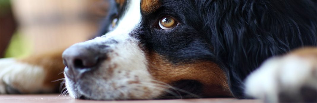 canine parvovirus in dogs – symptoms and treatment