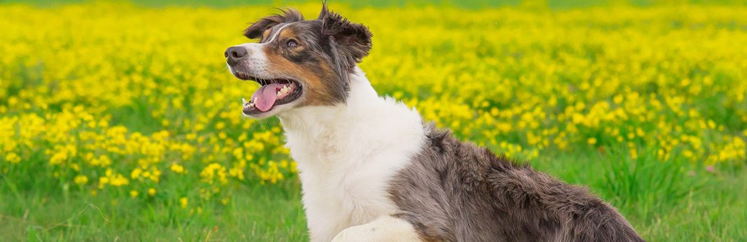 carprofen for dogs uses side effects guide