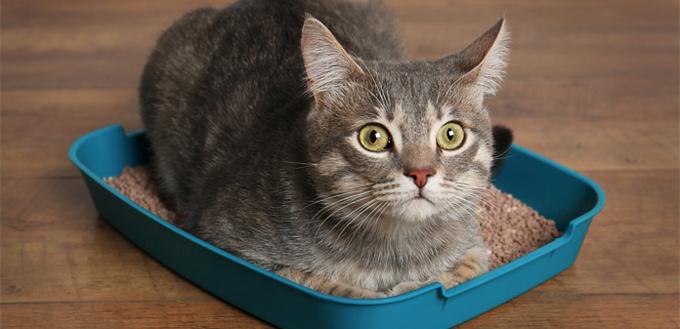 cat in her litter box