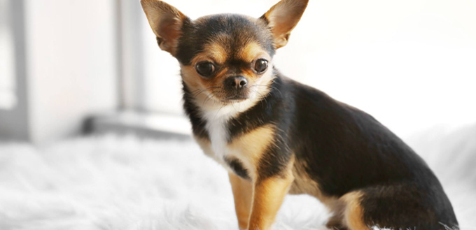 ... Best Apartment Dog In Your Life. Chihuahua