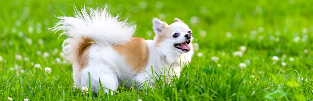 chihuahua breed facts and temperament
