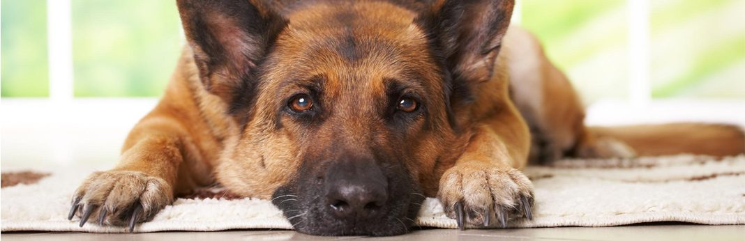 comfortis for dogs - uses and side effects