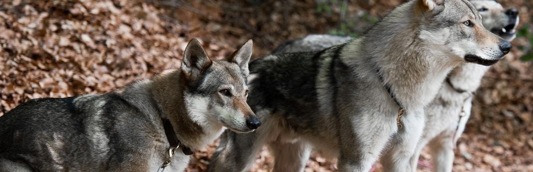 dog breeds similar to wolves