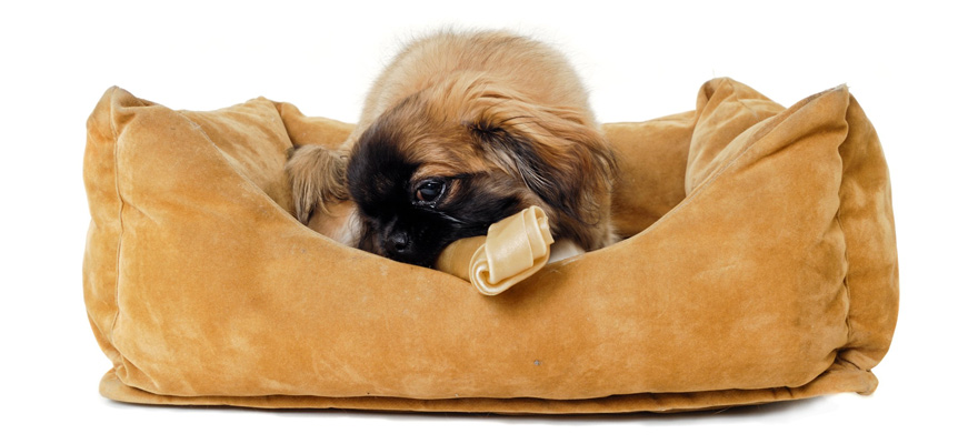 dog chewing in its bed