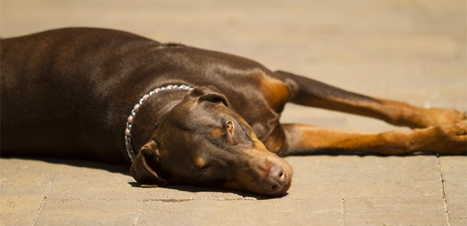 dog laying in the sun