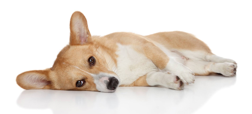 dogs canine parvovirus