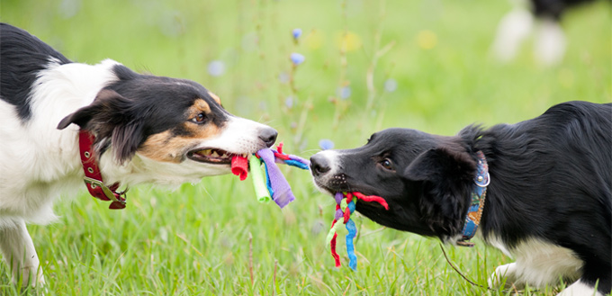 dogs playing with rope