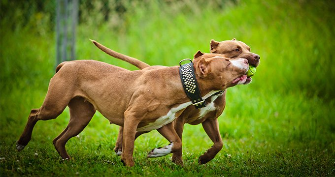 facts about pitbulls