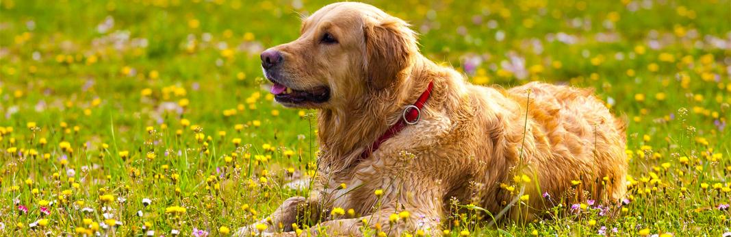 fleas-and-ticks-on-dogs