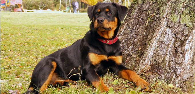 history of the rottweiler
