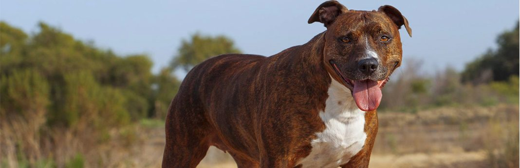 how to care for a pit bull