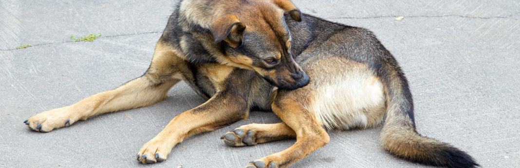 how-to-relieve-dogs-itchy-skin